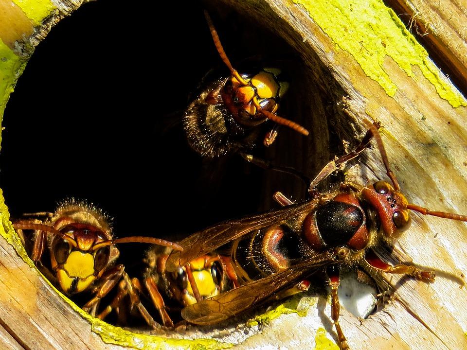 destruction nid de guepe pas cher professionnel dans la marne, les ardennes, la meuse, la haute marne, l'aisne | Destruction de nid de guepe à reims, troyes épernay, charleville mézières, sedan, laon, saint quentin