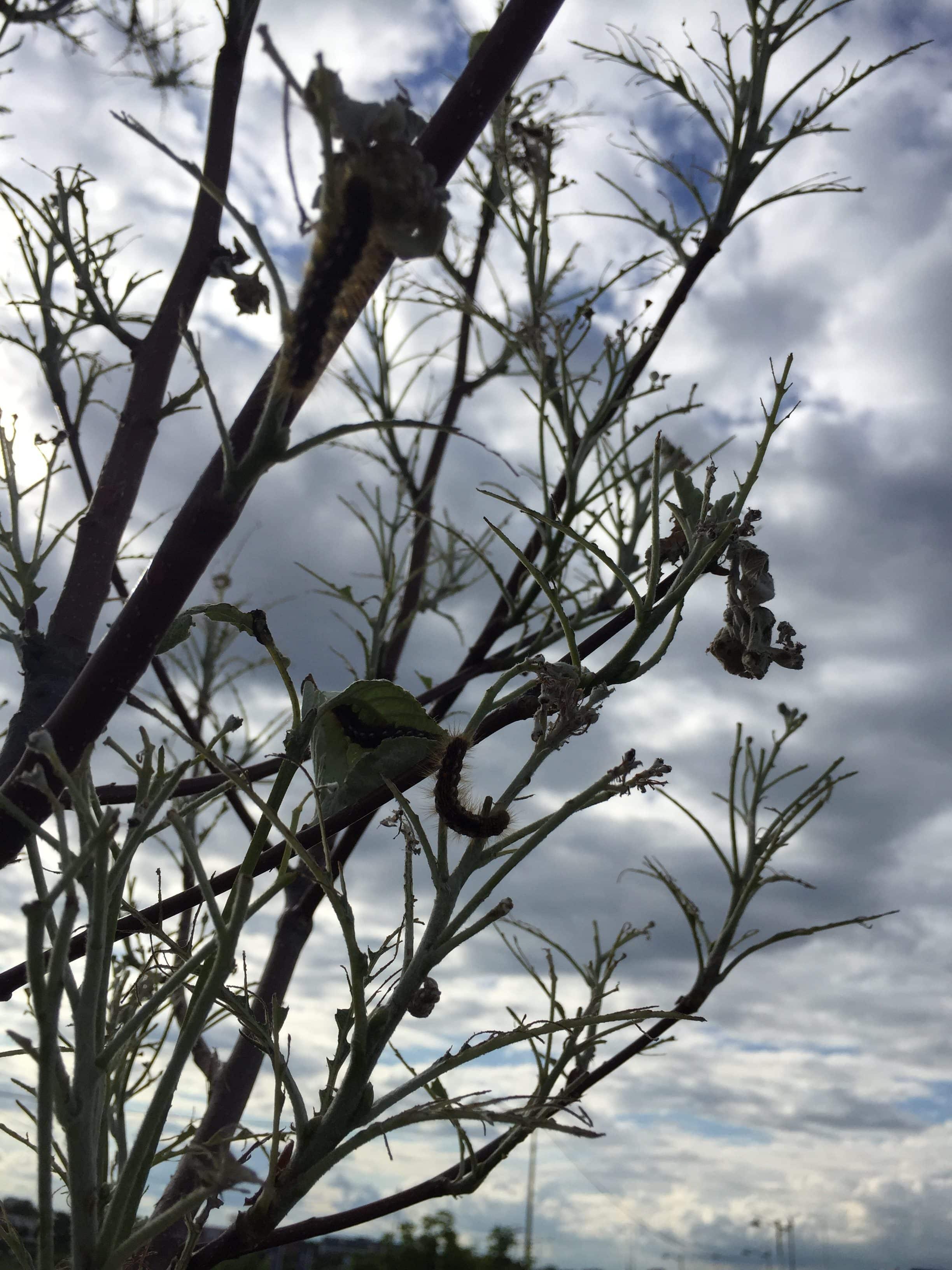 Traitement Chenilles Bombyx à poils urticants à Vitry Le François