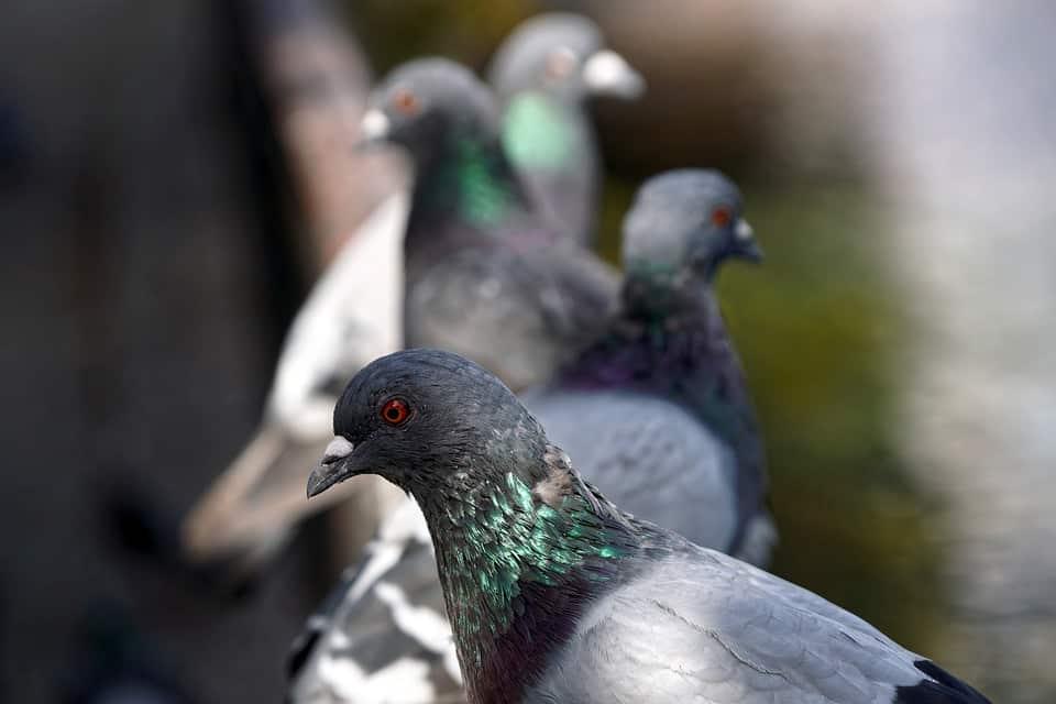 Pose de pics et de filets anti pigeons