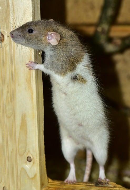 Confinement: Le champ libre pour les rats